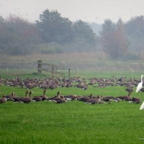 ganzen en grote zilverreigers bij De Deelen, 8-10-2013