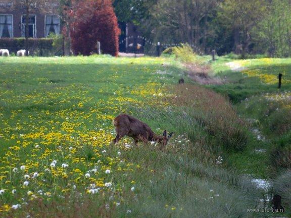 Ree in een weiland vol bloemen (2)