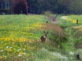 Ree in een weiland vol bloemen (3)