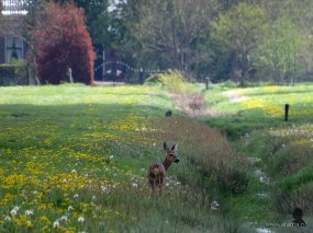Ree in een weiland vol bloemen (4)