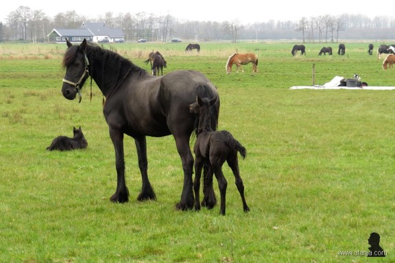 Friese paarden in de wei - 6