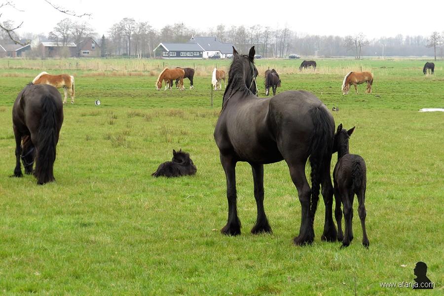 Friese paarden in de wei - 7