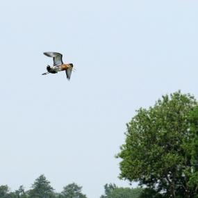 grutto in volle vlucht 2