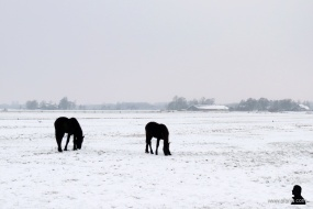 Friese paarden - Frisian horses
