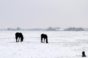 Friese paarden - Frisian horses