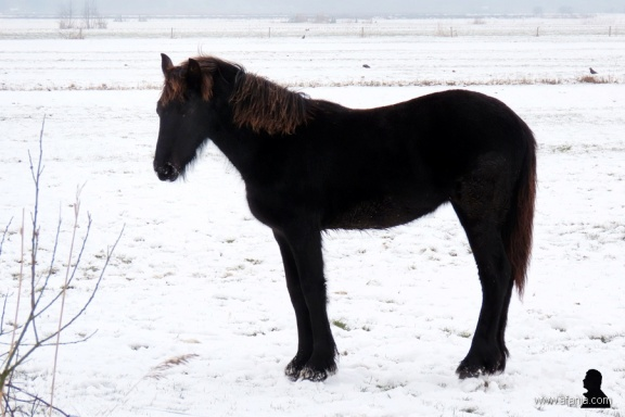 Fries paard - Frisian horse 2