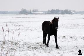 Fries paard - Frisian horse 1