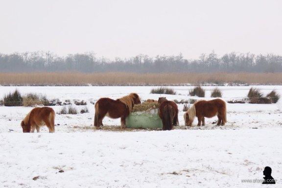 pony's in de sneeuw 1