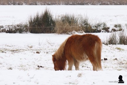 pony's in de sneeuw 4