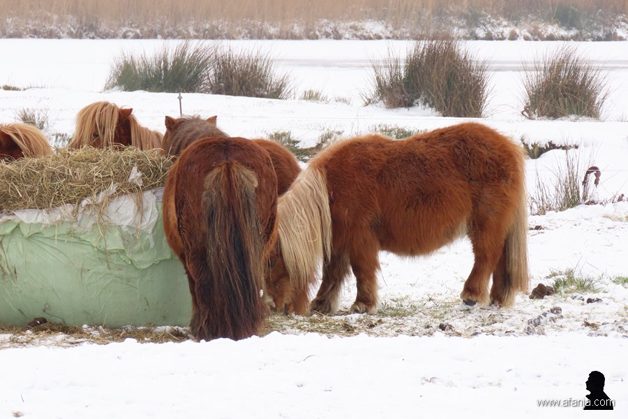 pony's in de sneeuw 2