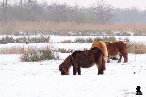 pony's in de sneeuw 3