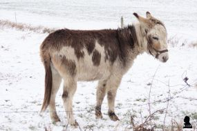 ezels in de sneeuw -2- donkeys in the snow