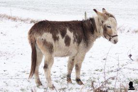 ezels in de sneeuw -2- donkeys in the snow