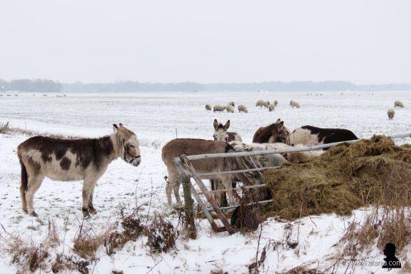 ezels in de sneeuw -1- donkeys in the snow