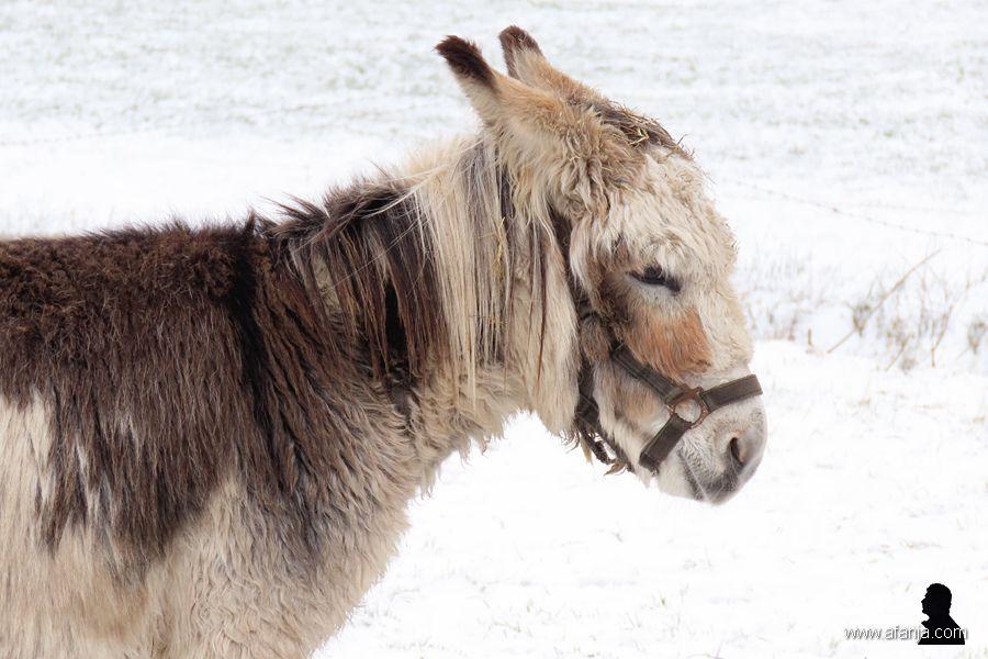 ezels in de sneeuw -3- donkeys in the snow