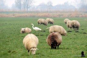 zilverreiger en schapen - 1