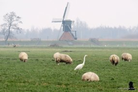 zilverreiger en schapen - 2