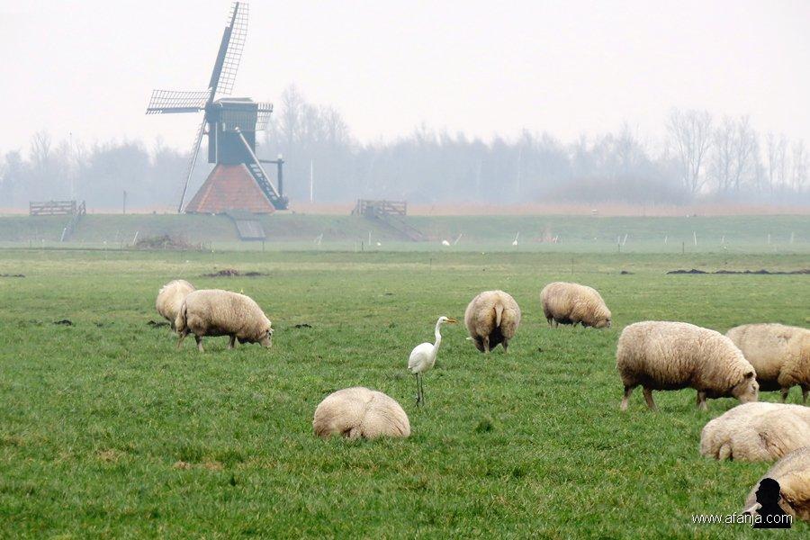 zilverreiger en schapen - 3