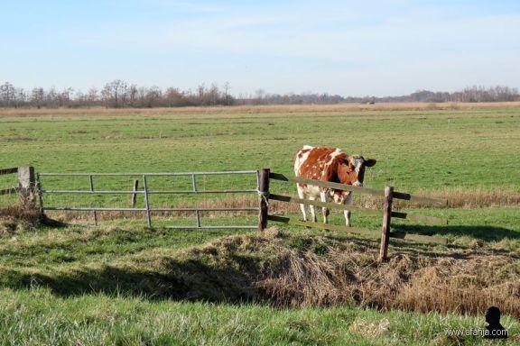 25-2-2019: koeien in de wei