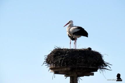 ooievaars - earrebarren - storks (2)