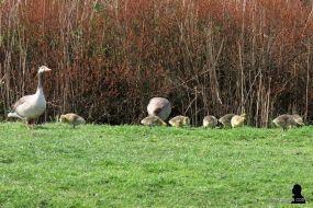 6. jonge ganzen