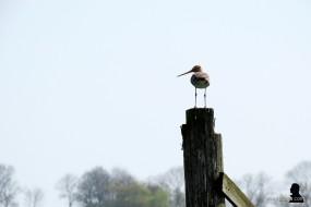 grutto - godwit - skries