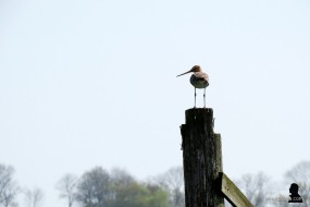 grutto - godwit - skries