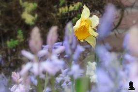 wilde hyacinten - 2