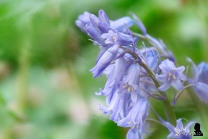 wilde hyacinten - 5