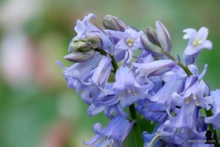 wilde hyacinten - 4