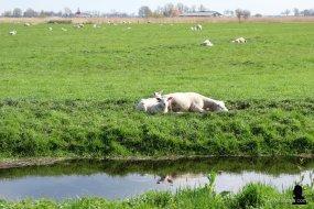 3. de schapen in het landschap