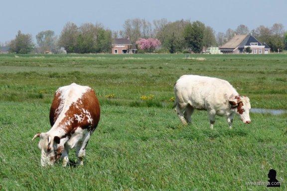 1. gehoornde koeien