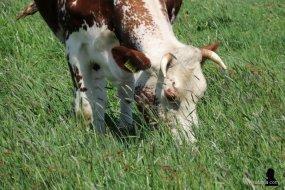 3. gehoornde koe