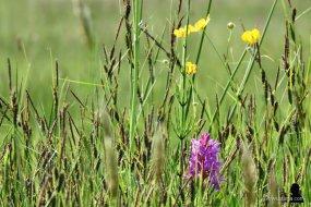 3. wilde orchis en boterbloemen