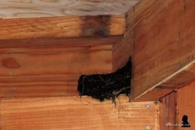 5. nest van de boerenzwaluw