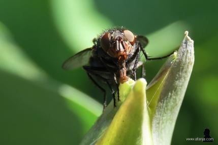 2. de vlieg en zijn monddelen (frontaal)