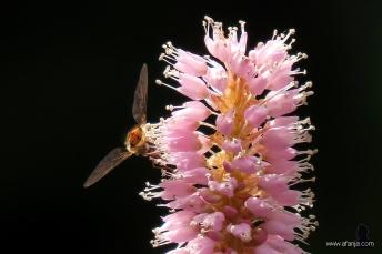 3. een zweefvlieg in actie