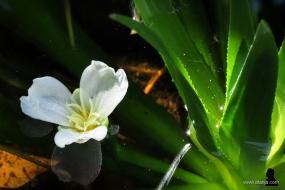 2. bloem van de krabbescheer