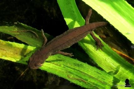 7. salamanders in de vijver